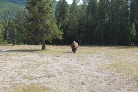The closest we got to a buffalo